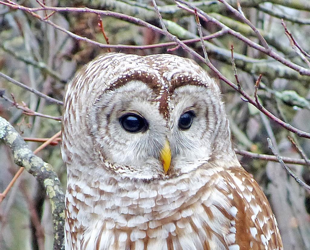 NEWA-BIRD-OWL, BARRED-HEAD-3